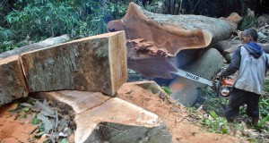 Pekerja menggunakan gergaji mesin untuk menebang pohon kenari yang telah keropos di area Kebun Raya Bogor (KRB), Kota Bogor, Jawa Barat, Selasa (27/1)