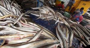 Sejumlah pekerja mengolah ikan Remang di Pabean Udik, Indramayu, Jawa Barat,