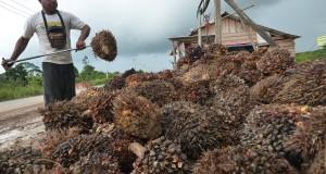 Seorang pekerja merapikan hasil panen tandan buah segar (TBS) kelapa sawit di tempat pengepul kelapa sawit Kunangan, Maro Sebo, Muarojambi, Jambi.
