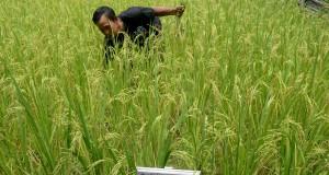 Petani membersihkan gulma di persawahan padi organik di Desa Pitu Singgu, Kecamatan Ma'rang, Kabupaten Pangkajene Kepulauan, Sulawesi Selatan, Rabu (25/3)