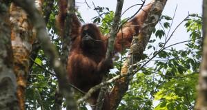 Orangutan sumatra (Pongo abelii) berada di atas pohon sebelum dievakuasi petugas dari Yayasan Orangutan Sumatera Lestari - Orangutan Information Centre (YOSL-OIC) dan BBKSDA Sumut, di Desa Kuala Musam, Langkat, Sumatera Utara, Senin (30/3)