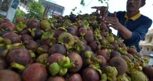 Pedagang menata buah manggis hasil panen yang dijual Rp13 ribu - Rp15 ribu per kilogram di Jelutung, Jambi, Minggu (22/3).