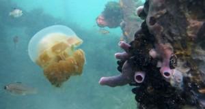 Ubur-Ubur berenang di Danau Kakaban, Kepulauan Derawan, Berau, Kaltim, Kamis (12/3)