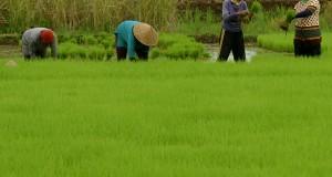 Petani menyiapkan bibit padi di areal persawahan Sindangkasih, Ciamis, Jawa Barat, Kamis (16/4).