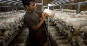 Pekerja mengecek kondisi pertumbuhan jamur tiram (Pleurotus Ostreatus) pada rumah jamur di Kelurahan Kebon Manggis, Jakarta, Minggu (26/4)