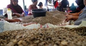 Sejumlah ibu memilah - milah biji kopi jenis Arabica yang kualitas baik dengan yang rusak di Takengon, Aceh Tengah, Selasa (31/3).
