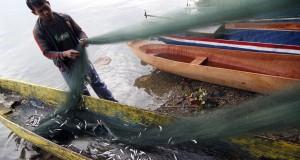 Seorang nelayan, Sapri mencabuti dan mengumpulkan ikan Depik yang menyangkut di jaringnya di tepi Danau Lut Tawar, Takengon, Aceh Tengah, Selasa (31/3).