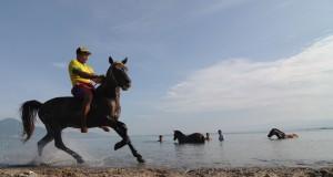 Pekerja memandikan kuda pacu di Pantai Talise, Teluk Palu, Sulawesi Tengah, Minggu (10/5). Memandikan kuda pacu dan membersihkannya dengan air laut setiap Minggu pagi adalah bagian dari perawatan kuda dan dipercaya meningkatkan stamina kuda saat dipacu. ANTARA FOTO/Basri Marzuki/Rei/ama/15.