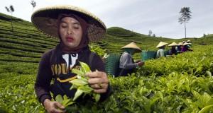 Sejumlah pekerja memetik daun teh hijau pada Perkebunan Dewata milik PT KBP Chakra di Kawasan hutan lindung Pegunungan Tilu, Bandung, Jabar, Rabu (29/4)