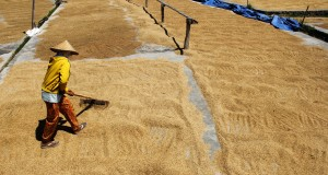 Pekerja melakukan pengeringan gabah di gudang penggilingan Desa Bonto Lebang, Bantaeng, Sulawesi Selatan, Kamis (7/5). Pemerintah Sulawesi Selatan lewat Dinas Pertanian Tanaman Pangan dan Hortikultura menargetkan untuk produksi gabah kering giling (GKG) pada tahun 2015 akan mencapai sebesar 6,4 juta ton atau naik sekitar 15% dari tahun sebelumnya. ANTARA FOTO/Abriawan Abhe/Rei/pd/15.