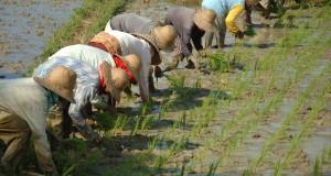 Buruh tani menanam padi pada musim tanam ke dua, di Desa Jarin, Pamekasan, Jawa Timur, Senin (11/5).  Produksi padi Jatim ditarget mencapai 14 juta ton beras pada tahun 2015 atau naik dua juta ton dari produksi di tahun 2014. ANTARA FOTO/Saiful Bahri/Rei/nz/15.