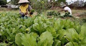 Petani memetik sayur sawi di perkebunan Desa Batu-batu, Kecamatan Galesong Utara, Takalar, Sulawesi Selatan, Minggu (26/7). Menurut petani sayur di daerah tersebut harga sayur sawi di tingkat petani turun dari harga Rp4.500 menjadi Rp2.500 per ikat karena ukuran sayur mengecil akibat kekurangan pasokan air pada musim kemarau. ANTARA FOTO/Abriawan Abhe/asf/kye/15.