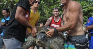 Wisatawan menggotong Penyu Hijau (Chelonia Mydas) hasil sitaan polisi dan BKSDA Bali, untuk dilepaskan di Pantai Kuta, Bali, Kamis (30/7). Sebanyak delapan ekor penyu yang diselundupkan dari Madura ke Bali sekitar bulan Juni 2015 dilepaskan kembali ke habitatnya dengan melibatkan wisatawan di Pantai Kuta. ANTARA FOTO/Nyoman Budhiana/ss/foc/15.