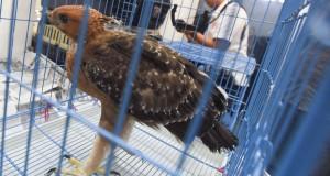 Petugas menunjukan Elang Jawa (Spizaetus bartelz) yang berada dalam sangkar ketika gelar barang bukti tindak pidana konservasi sumberdaya alam hayati dan ekosistemnya di Polda Jawa Timur, Surabaya, Jawa Timur, Senin (6/7). Sebanyak 12 burung Elang berhasil diamankan dari pelaku penjualan burung elng melalui media sosial yakni seekor Elang Brontok (Nisaetus Cirrhatus), seekor Elang Laut Perut Putih (Haliaeestus leugaster), 6 ekor Alap Alap Sapi (Falco moluccensis), 2 ekor anak Elang, seekor Elang Jawa (Spizaetus Bartelz) dan 2 ekor Elang Laut dalam keadaan mati. ANTARA FOTO/Zabur Karuru/Rei/pd/15.