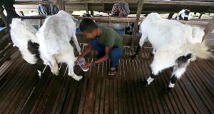 Peternak memerah susu kambing jenis etawa di Lamnyong, Darussalam, Aceh Besar, Aceh, Kamis (30/5). Permintaan susu kambing di Provinsi Aceh mengalami peningkatan namun hasil produksi masih sangat minim. ANTARA FOTO/Irwansyah Putra/foc/ss/15.