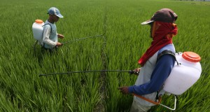 Petani memupuk tanaman padi di Desa Cot Cut, Kecamatan Kuta Baro, Kabupaten Aceh Besar, Senin (20/7). Kementerian Pertanian optimis target produksi padi sebesar 73,5 juta ton pada tahun 2015 dapat tercapai meski petani masih terkendala dengan hama dan kekeringan. ANTARA FOTO/Irwansyah Putra/ss/kye/15.