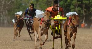 Joki memacu sapi kerapan saat ujicoba, di Pamekasan, Jawa Timur, Jumat (31/7). Menjelang pelaksanaan Kerapan Sapi Piala Presiden yang akan digelar sekitar bulan September-Oktober 2015, para pemilik sapi di kabupaten itu mulai melakukan sejumlah persiapan salah satunya menggelar ujicoba. ANTARA FOTO/Saiful Bahri/ss/pd/15
