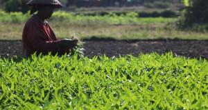 Seorang petani memanen kangkung di area persawahan di Surabaya, Jawa Timur, Selasa (4/8). Hasil panen kangkung tersebut dijual ke sejumlah pasar tradisional di Kota Surabaya dengan harga Rp1.000 per ikat. ANTARA FOTO/Moch Asim/Zk/pras/15