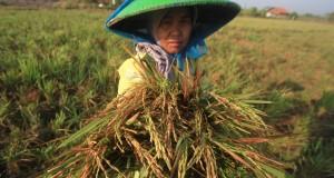 Petani memanen padi yang masih berusia muda di desa Sindang, Indramayu, Jawa Barat, Sabtu (1/8). Menurut data Dinas Pertanian dan Tanaman Pangan Jawa Barat sebanyak 49 ribu hektar lahan sawah di Jawa Barat mengalami puso, serta 101 ribu hektar terancam puso dan gagal panen. ANTARA FOTO/Dedhez Anggara/foc/15.