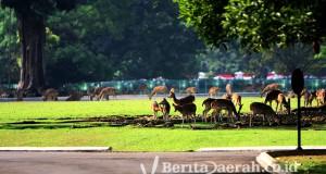 rusa tutul memenuhi halaman istana bogor