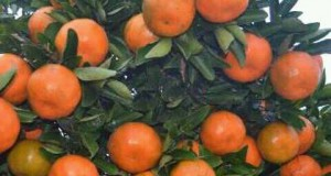 jeruk kota soe