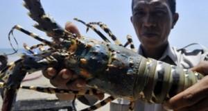 udang-lobster vaname