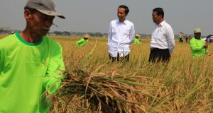 Presiden Joko Widodo (kiri) bersama Menteri Pertanian Amran Sulaiman mengamati hasil padi saat panen raya di Kabupaten Sukoharjo, Jawa Tengah, Sabtu (3/10).  Tanaman padi yang dipanen pada kegiatan tersebut merupakan hasil penerapan teknologi atau metode di 'Denfarm 3 in1' guna pencapaian swasembada pajale padi, jagung, dan kedelai. ANTARA FOTO/Maulana Surya/nz/15.