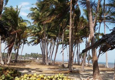panen kelapa muda di bantaeng