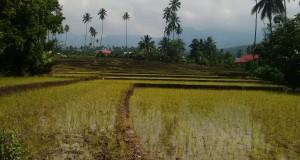 Persawahan di Sulawesi Utara (Photo: BD)