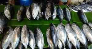 Ikan tangkap di Pulau Nias (Photo: Elfi/BD)