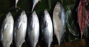 ikan yang seger dari laut Ambon